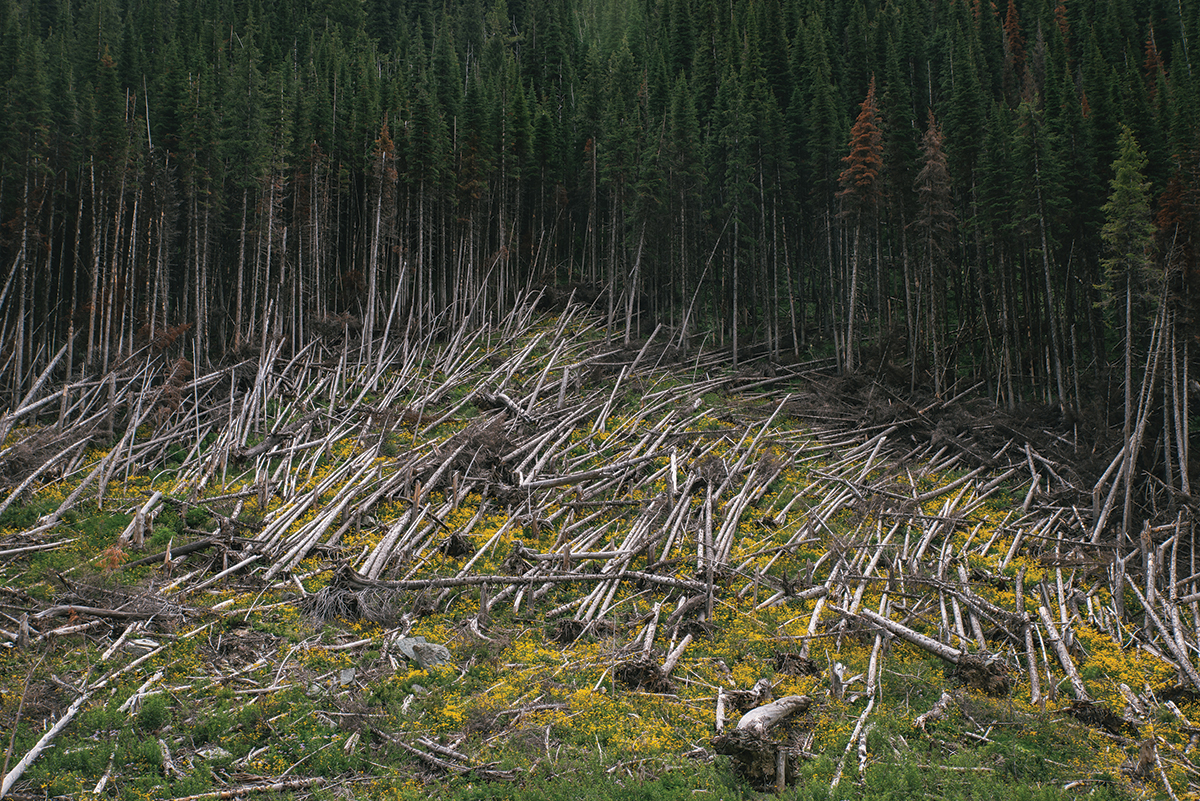 A matchstick forest of blow down along the Great Divide bike route