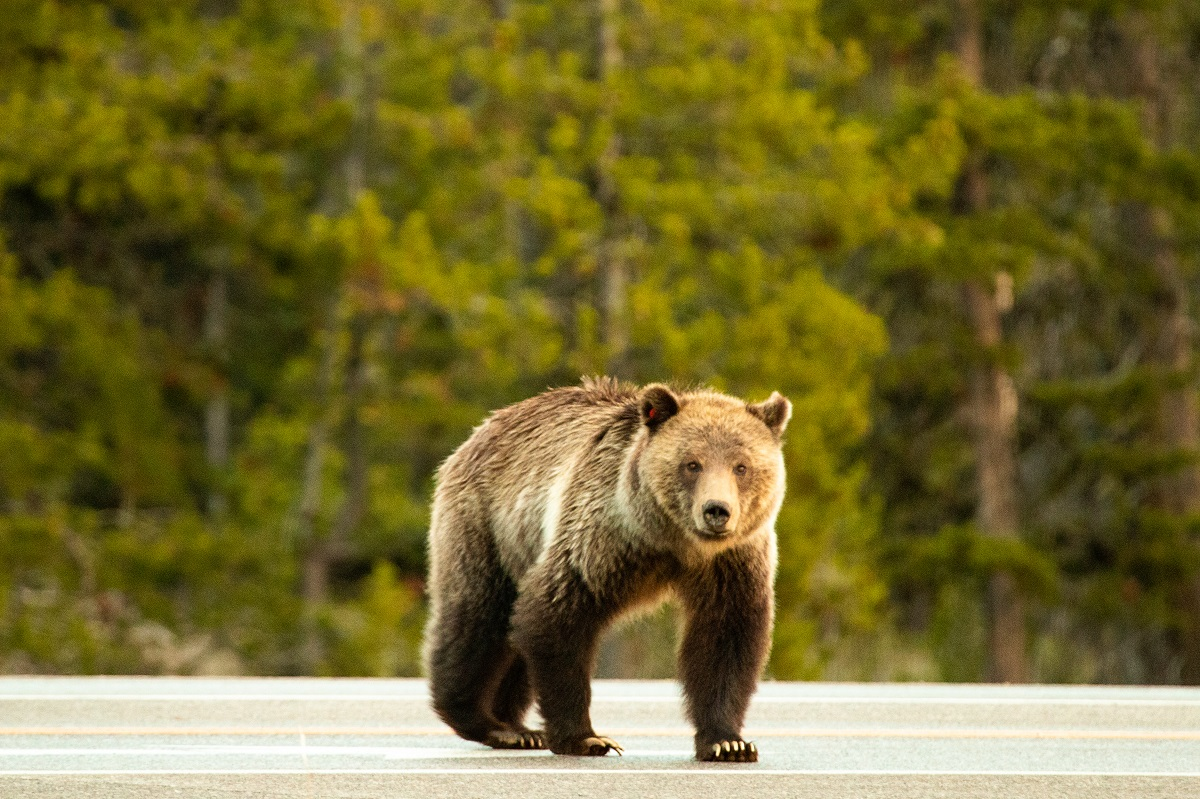 A grizzly bear stands on the highway in Grand Teton National Park.
