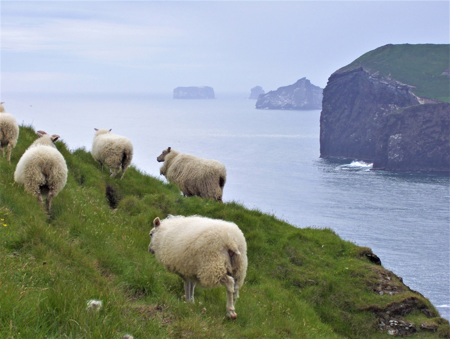 Iceland sheep photo by Laura Killingback