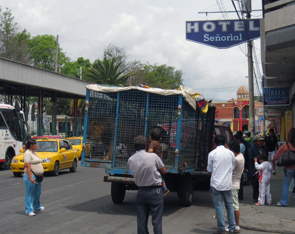 A woman stands next to a cage on a truck and staring at the lion within the cage.